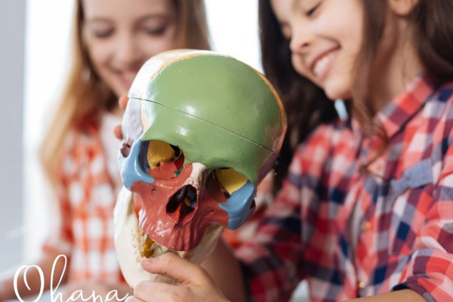 Children's bones are different from adult bones. Two young girls look at a model of an adult skull bone.